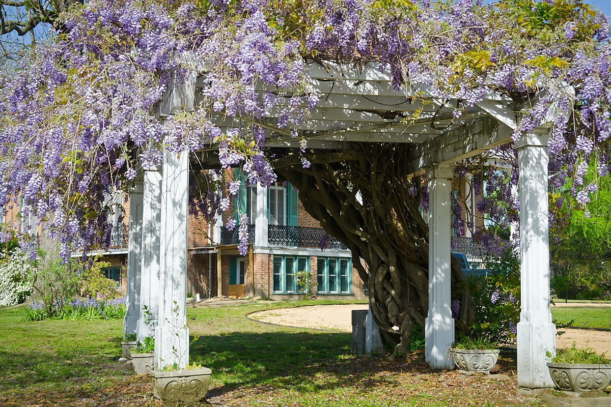 Wisteria at Wessington