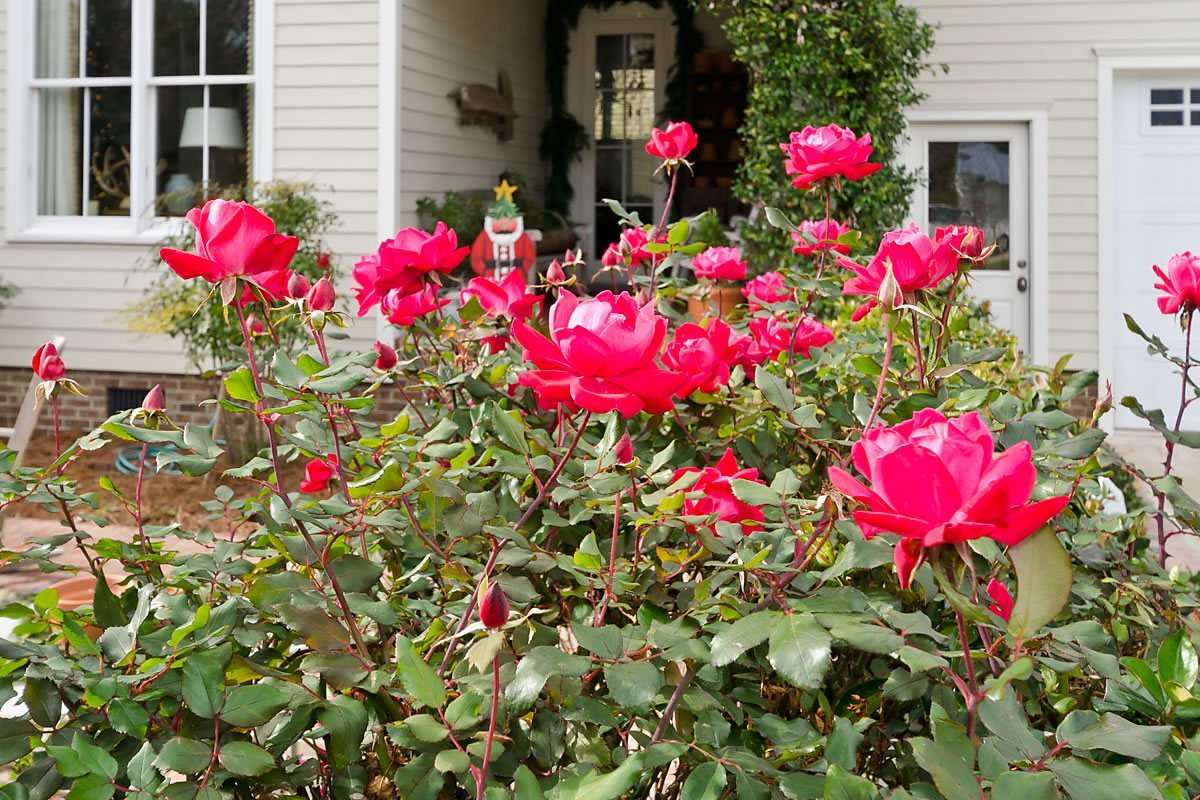 Roses blooming outside a Candlelight Tour home, Edenton, North Carolina (Photo by Kip Shaw)