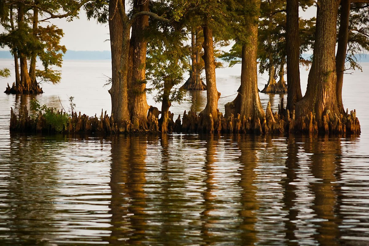 Edenton, North Carolina (Bay cypress, Photo by Kip Shaw)